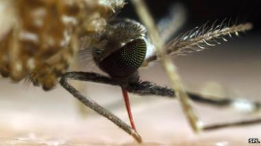 أجريت البحوث على فصيلة واحدة من البعوض الناقل للملاريا