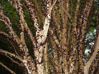 صورة شجرة العنب