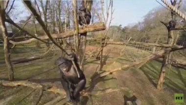 شمبانزي يسقط طائرة من دون طيار مستخدما غصن شجرة