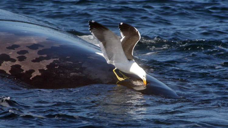 صورة علماء المحيطات يتهمون طيور النورس بقتل الحيتان